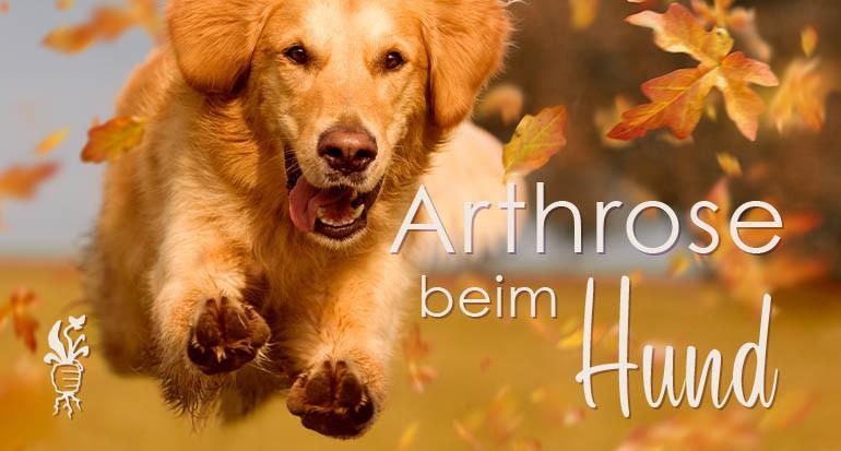 Arthridonum H - Hilfe bei Arthrose beim Hund
