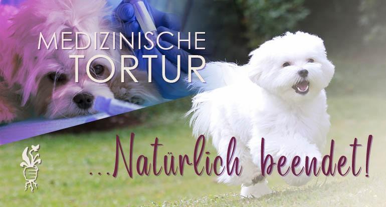 Malteserhund kurz mit Naturpräparaten geheilt
