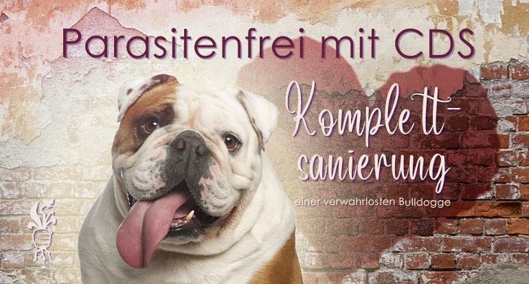 Einmal Komplettsanierung bitte - Vernachlässigte englische Bulldogge erblüht in neuem Glanz
