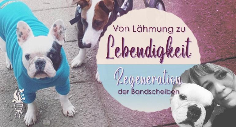 Von Lähmung zu Lebendigkeit - französische Bulldogge regeneriert trotz vielfacher Bandscheibenvorfälle