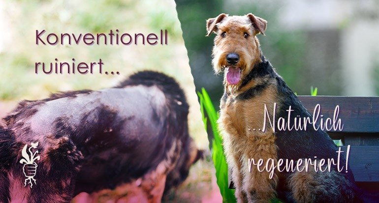 Fellregeneration bei Terriermix dank Naturprodukten
