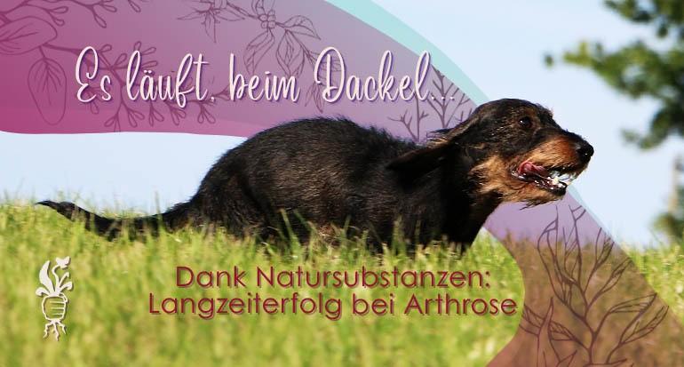 Dackel hat Langzeiterfolg bei Arthrose